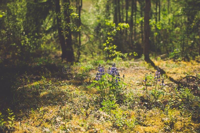 Dzicy Purpurowi łubiny w Pięknie Zaświecającym lesie fotografia stock