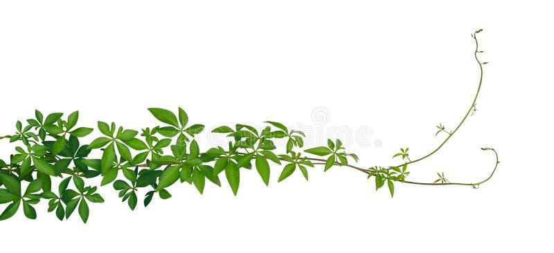 Dzicy ranek chwały dżungli winogradu tropikalni liście odizolowywający na białym tle, ścieżka zdjęcia royalty free