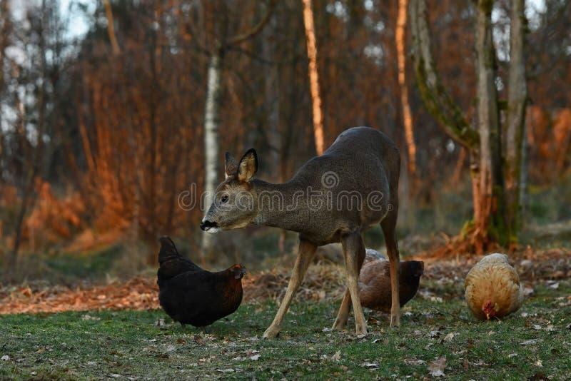 Dzicy roe rogacze przychodzili gospodarstwa rolnego pasma kurczaki podczas jesieni zdjęcia stock