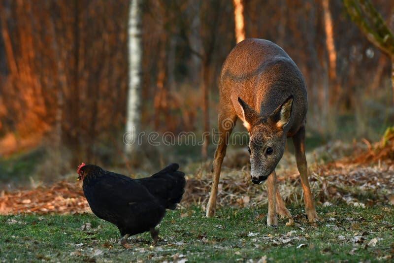 Dzicy roe rogacze przychodzili gospodarstwa rolnego pasma kurczaki podczas jesieni obrazy stock