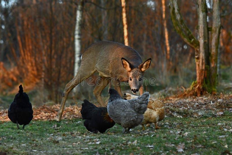 Dzicy roe rogacze przychodzili gospodarstwa rolnego pasma kurczaki podczas jesieni zdjęcie royalty free