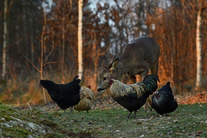 Dzicy roe rogacze przychodzili gospodarstwa rolnego pasma kurczaki podczas jesieni zdjęcia royalty free