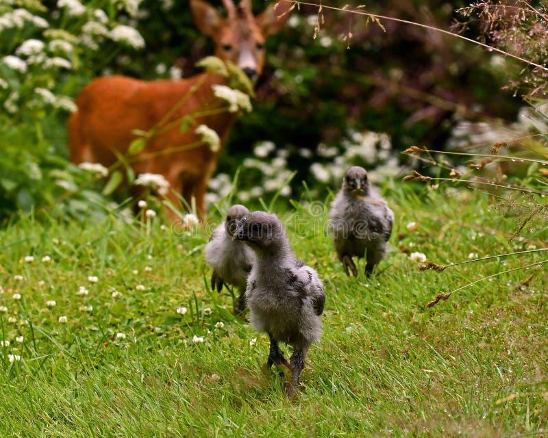 Dzicy roe samiec, ciekawie patrzeje grupy kurczaków dzieci obraz royalty free