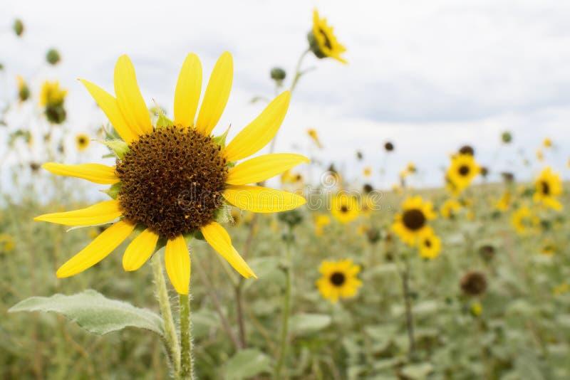 Dzicy słoneczniki w Kolorado obrazy stock