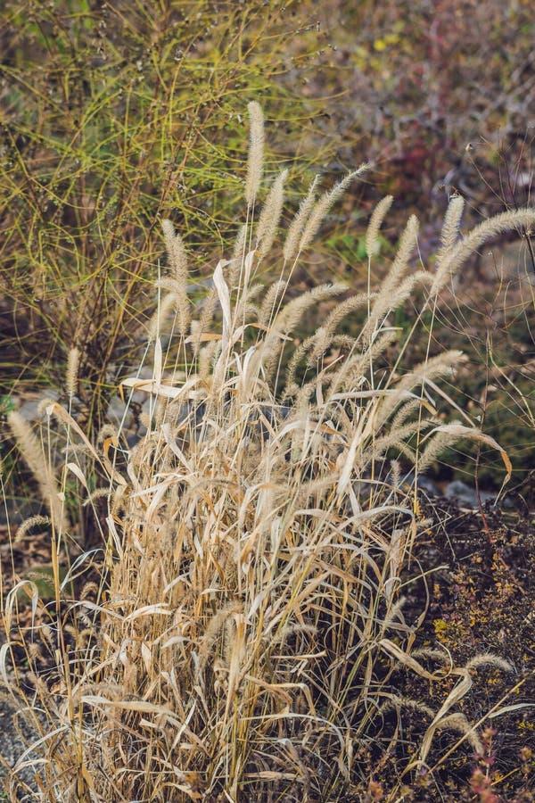 Dzicy spikelets zamazywali tło w ciepłych jesiennych kolorach fotografia royalty free