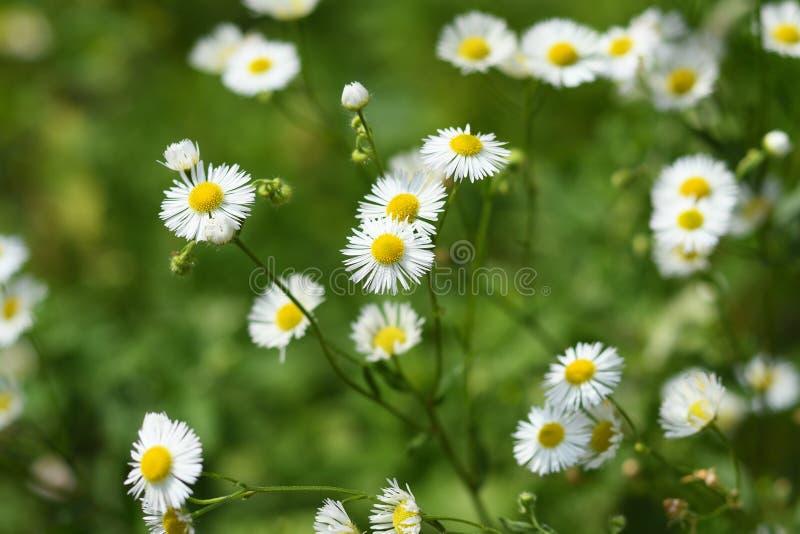 Dzicy stokrotka kwiaty obrazy royalty free
