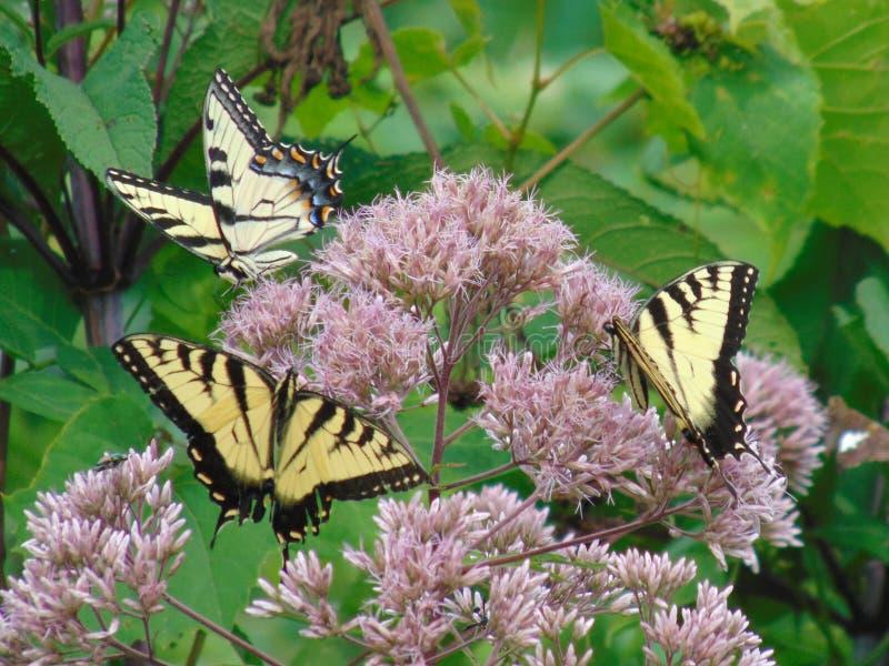 Dzicy Swallowtail motyle zdjęcia royalty free