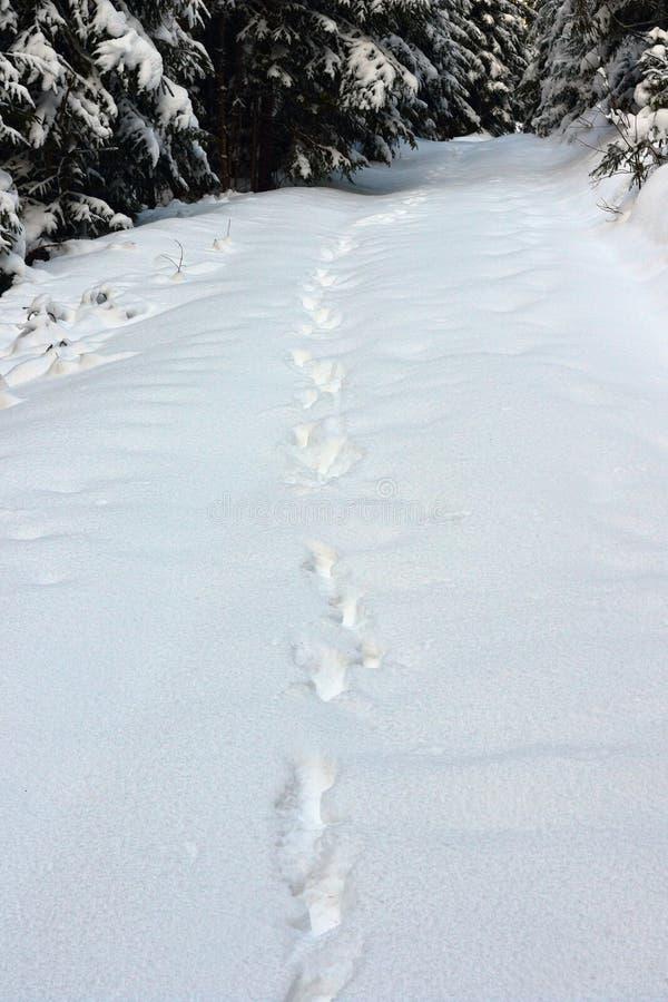 Dzicy wilków ślada w dużym śniegu obraz stock
