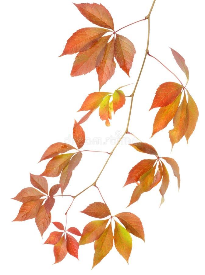 Dzicy winogrona jesień gałąź fotografia stock
