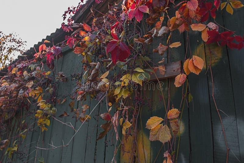Dzicy winogrona na starym drewna ogrodzeniu obraz royalty free
