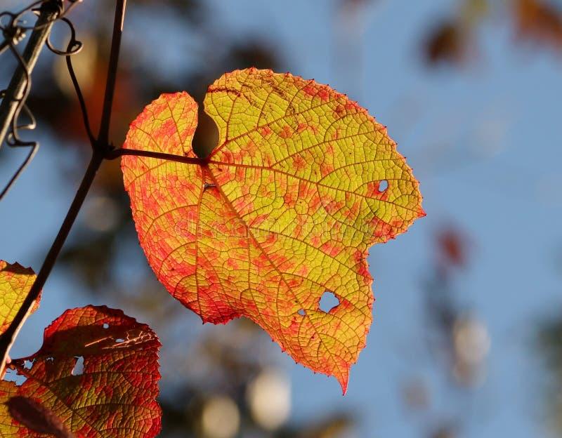 Dzicy winogrona VÃtis amurénsis zdjęcie stock