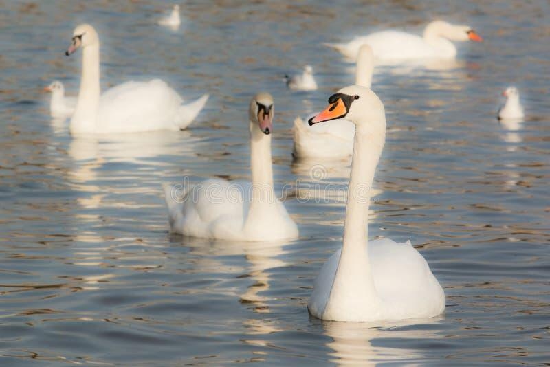 Dzicy wodni ptaki obrazy stock