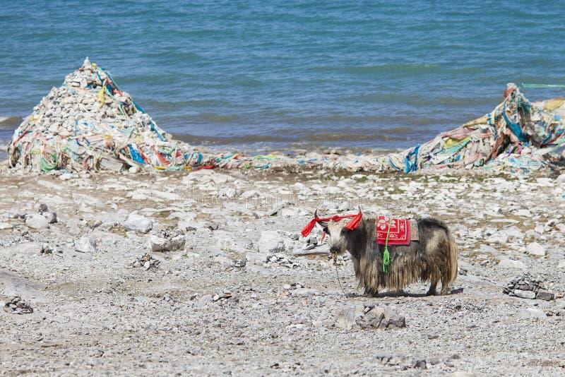 Download Dzicy yak zdjęcie stock. Obraz złożonej z dziki, przyroda - 20130460