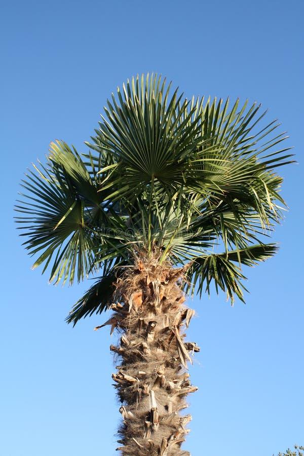 dzień drzewo palmowy pogodny zdjęcie royalty free