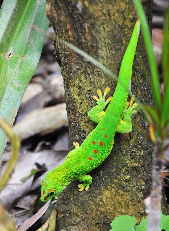 dzień gekon Madagascar obraz stock