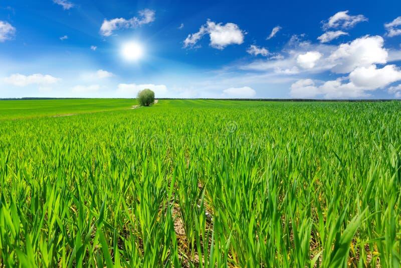 Download Dzień Lata Gorąca Pola Pszenicy Obraz Stock - Obraz złożonej z krajobraz, zboże: 53784783