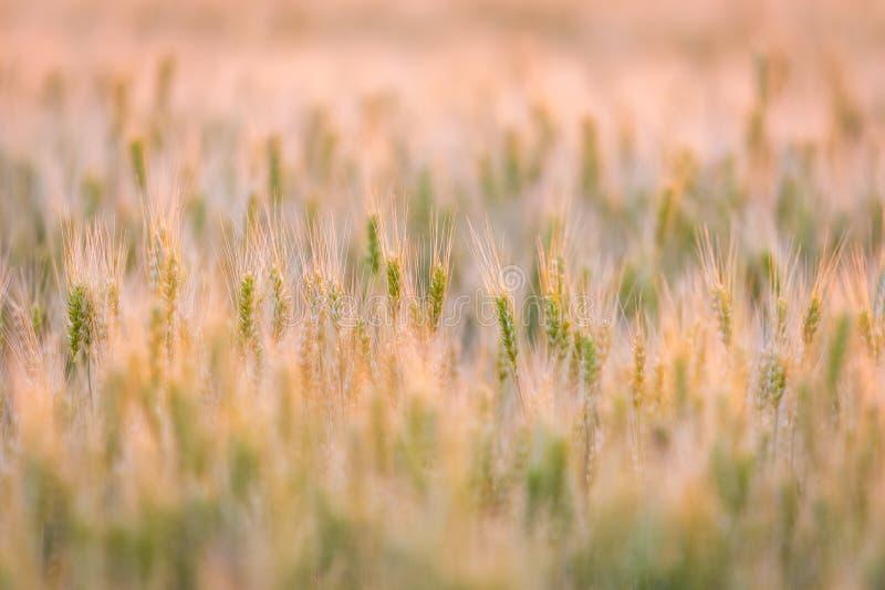 dzień lata gorąca pola pszenicy ucho zielenieją banatki Piękny natura zmierzchu krajobraz Wiejska sceneria pod złotym olśniewając fotografia stock