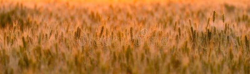 dzień lata gorąca pola pszenicy ucho zielenieją banatki Piękny natura zmierzchu krajobraz Wiejska sceneria pod złotym olśniewając obraz royalty free