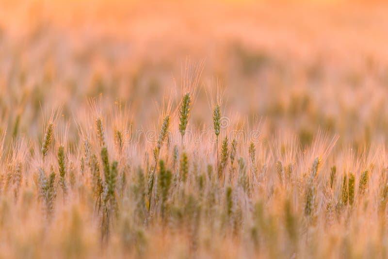 dzień lata gorąca pola pszenicy ucho zielenieją banatki Piękny natura zmierzchu krajobraz Wiejska sceneria pod złotym olśniewając obrazy stock