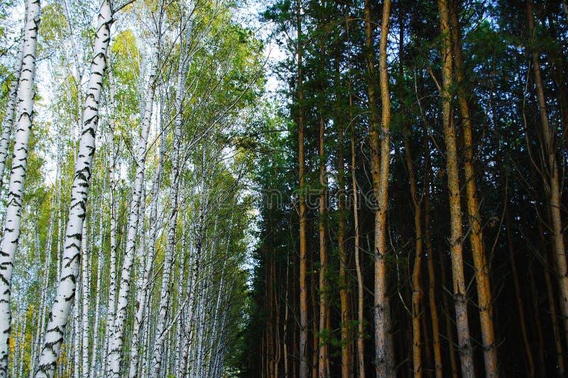 dzie? lasu krajobraz pogodny Sosny i brzozy lasu lato obrazy stock