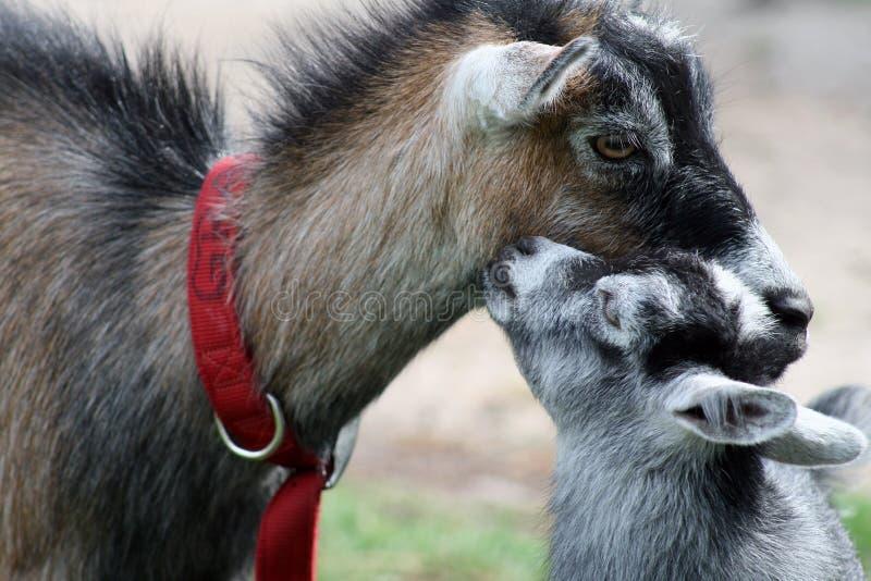 dzieci billy goat całowanie jego matka zdjęcia stock