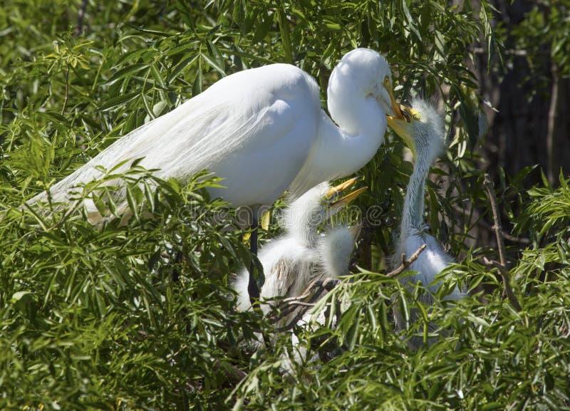 Dzieci egrets chwyci dorosłego ` s wystawiają rachunek patrzeć dla jedzenia, Floryda zdjęcie stock