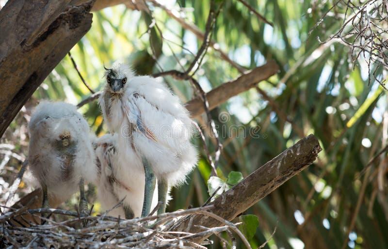 Dzieci Egrets w gniazdeczku obrazy stock