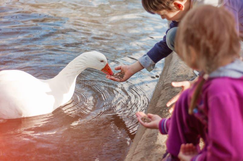 Dzieci karmi gąski w stawie Dbać dla zwierząt zdjęcie royalty free