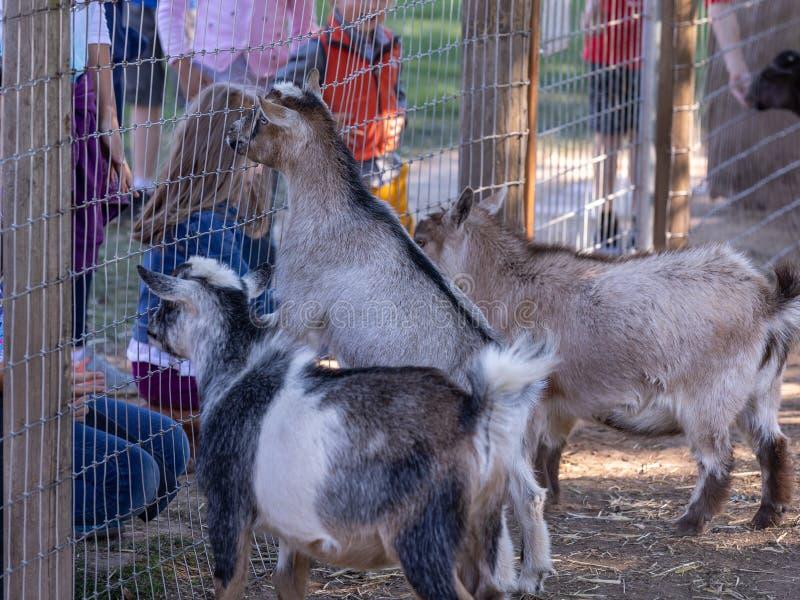 Dzieci karmi kózki przy gospodarstwem rolnym obraz stock