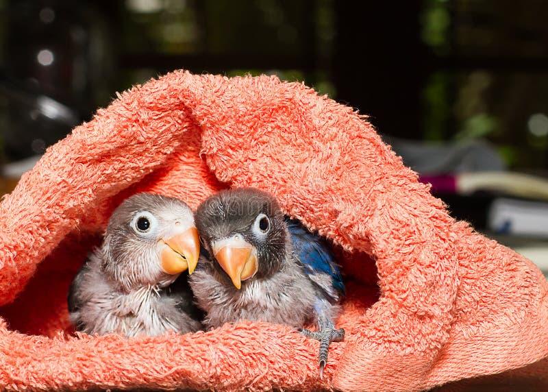 Dzieci lovebirds w płótna gniazdeczku na stole obrazy stock