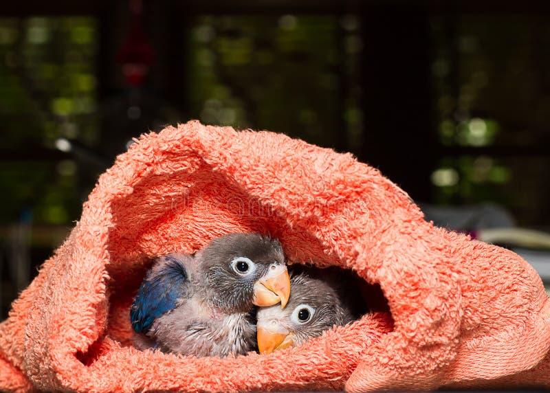 Dzieci lovebirds w płótnie gniazdują na stole w domu zdjęcie stock