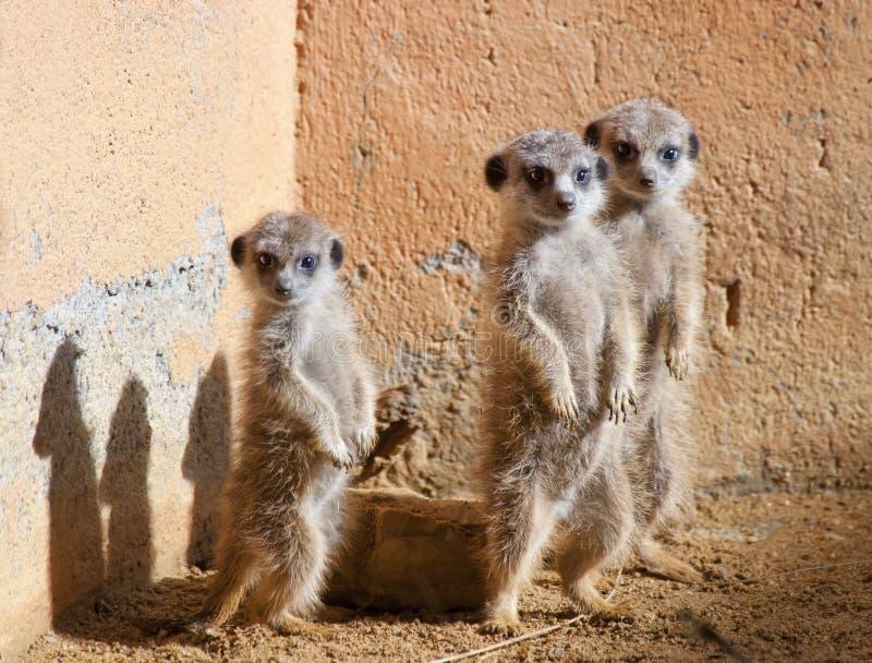 dzieci meerkats trzy zdjęcia royalty free