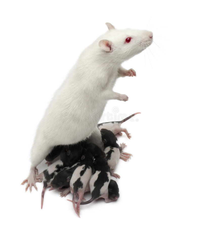 dzieci mieć ochotę karmienie przód swój szczur biały obrazy royalty free