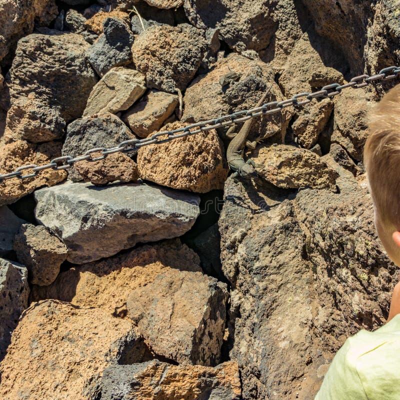 Dzieci spojrzenia przy Kanarową jaszczurką - Gallotia galloti odpoczywa na powulkanicznym lawa kamieniu który Jaszczurka gapi się obrazy royalty free