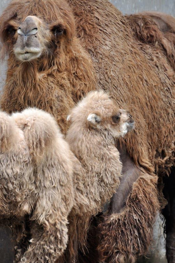 Dzieciak wielbłądzia matka