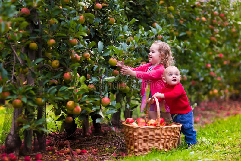 Dzieciaki podnosi jabłka od drzewa obraz royalty free