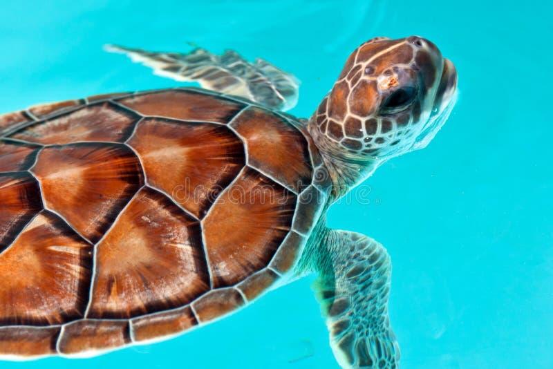 dziecka żółwia woda fotografia royalty free