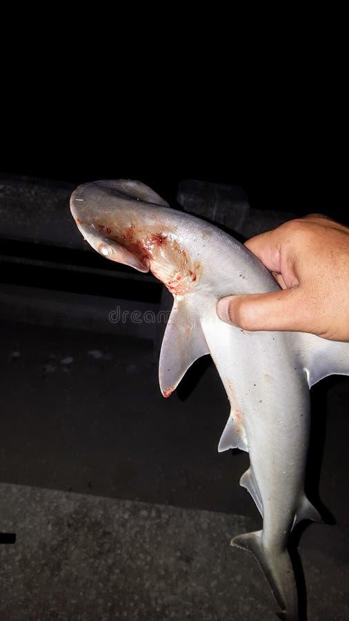 Dziecka bonnethead rekin obrazy stock