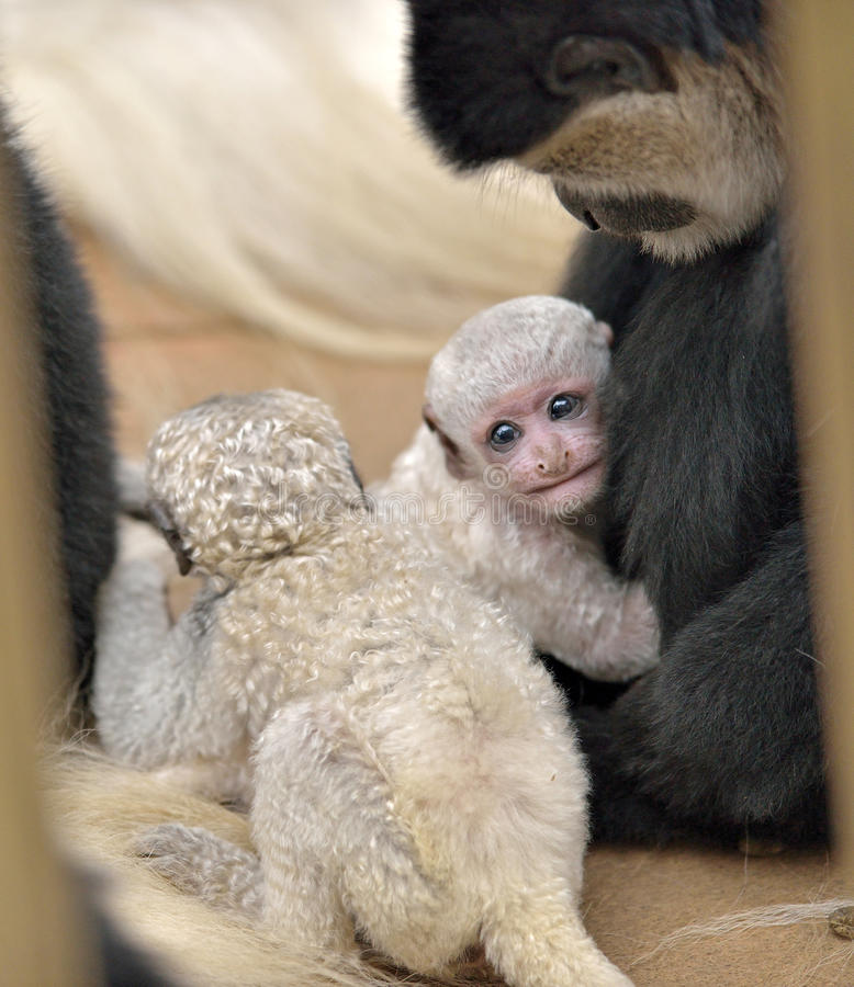 Dziecka Colobus małpy snuggles fotografia royalty free