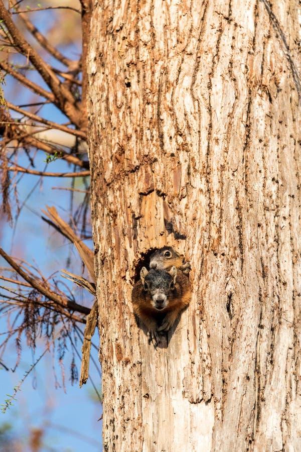 Dziecka Fox wiewiórki zestawu Sciurus Niger ono przygląda się nad wierzchołkiem swój matka w gniazdeczku obraz stock