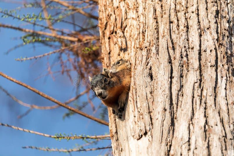 Dziecka Fox wiewiórki zestawu Sciurus Niger ono przygląda się nad wierzchołkiem swój matka w gniazdeczku obrazy royalty free