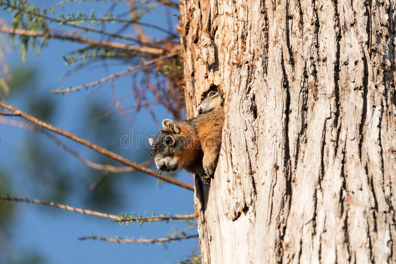 Dziecka Fox wiewiórki zestawu Sciurus Niger ono przygląda się nad wierzchołkiem swój matka w gniazdeczku obraz royalty free