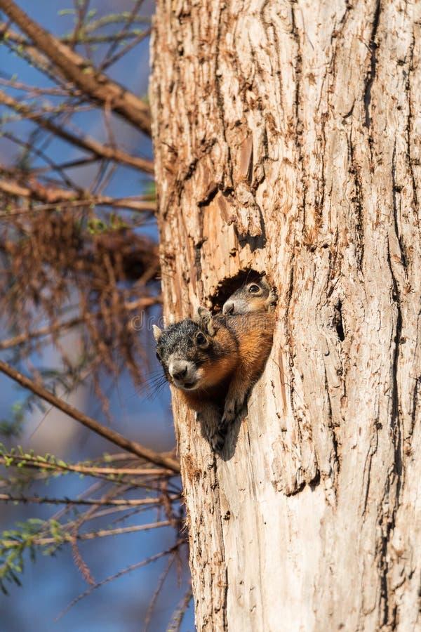Dziecka Fox wiewiórki zestawu Sciurus Niger ono przygląda się nad wierzchołkiem swój matka w gniazdeczku fotografia royalty free