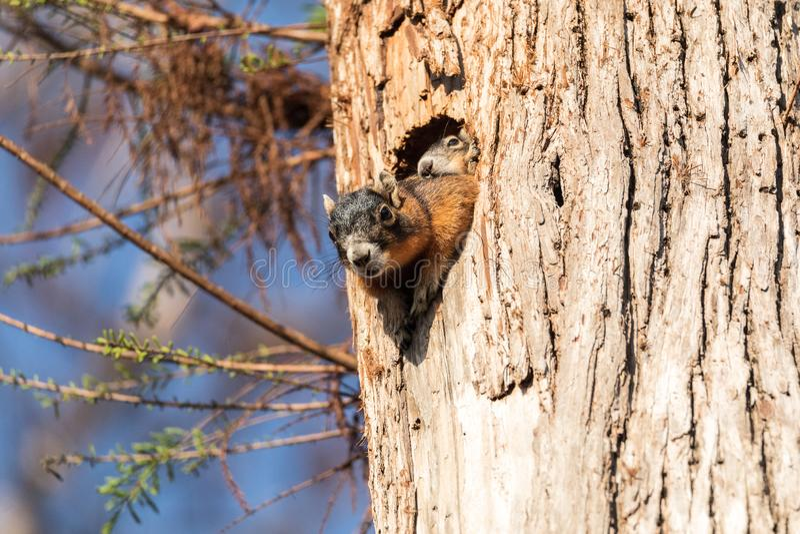 Dziecka Fox wiewiórki zestawu Sciurus Niger ono przygląda się nad wierzchołkiem swój matka w gniazdeczku zdjęcie stock