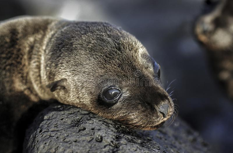 Dziecka Galapagos dennego lwa Zalophus wollebaeki sunbathing na skałach obraz stock