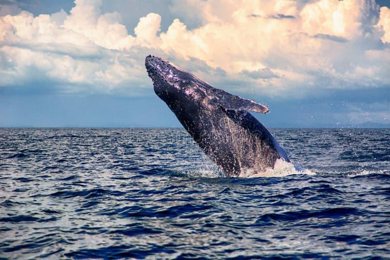 Dziecka Humpback wieloryb skacze zdjęcia royalty free