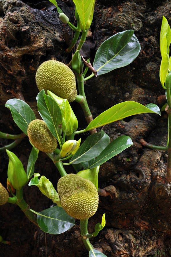 Dziecka jackfruit obrazy royalty free