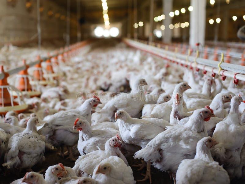 dziecka kurczaka gospodarstwa rolnego kratownica zdjęcie royalty free