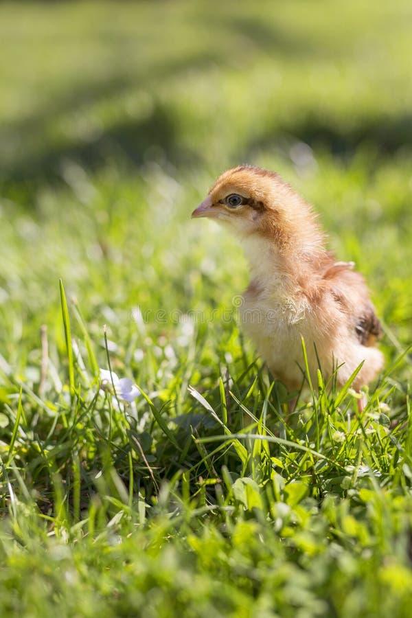 dziecka kurczaka trawa zdjęcia stock