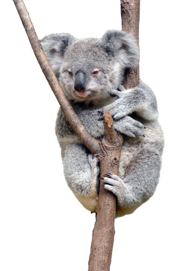 Dziecka lisiątka koala odizolowywająca na białym tle zdjęcia royalty free